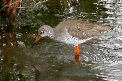 Common Redshank, London Wetlands Centre, UK