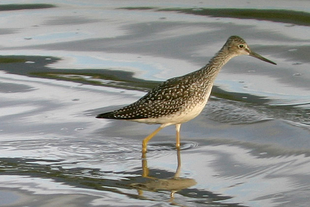 Greater Yellowlegs<br /> Near Jasper National Park, AB