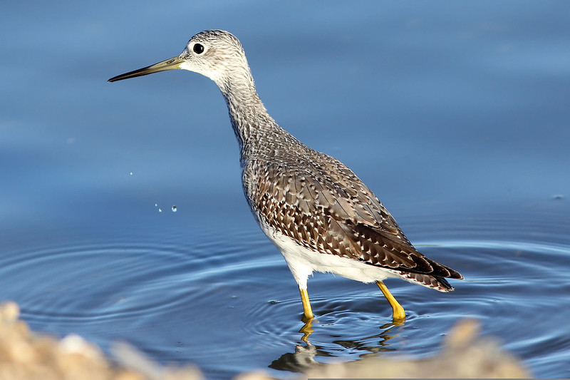 Greater Yellowlegs, Shoreline Lake, Mountain View, CA