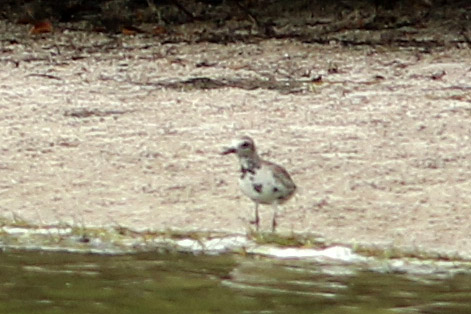 Black-bellied Plover, Fort De Soto Park, Pinellas County, FL