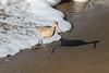 Marbled Godwit, Santa Cruz, CA