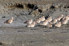 Marbled Godwit, Baylands Park, Palo Alto, CA