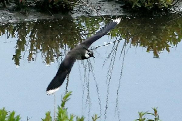 Lapwing, London Wetlands Centre, UK