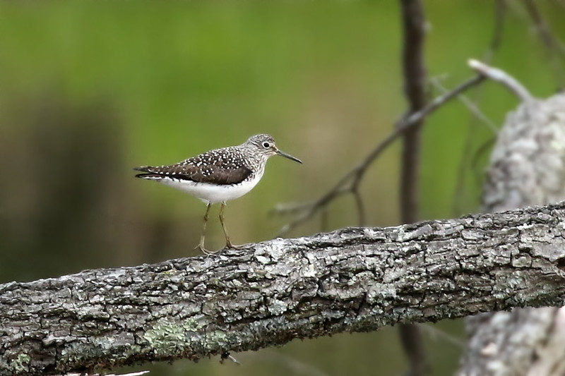 Solitary Sandpiper, Huntley Meadows, VA