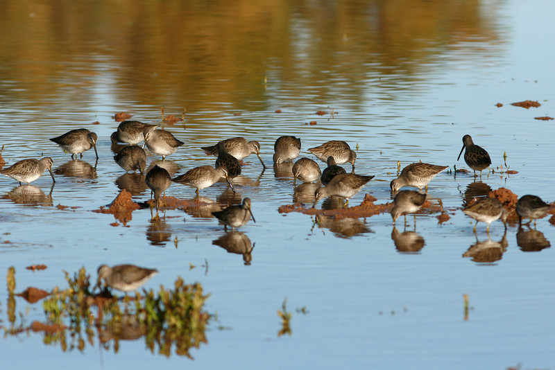 Long-Billed Dowitchers, Gilbert, AZ