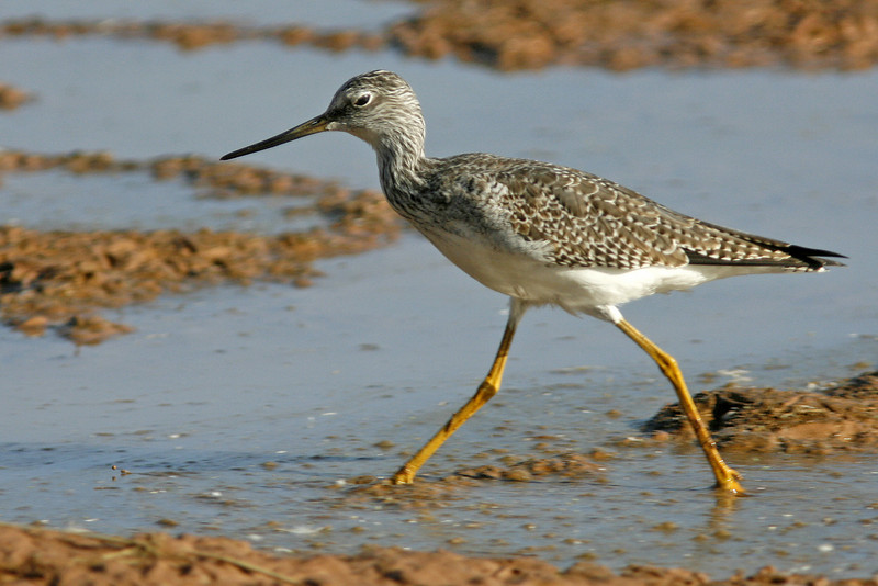 Greater Yellowlegs, Gilbert, AZ