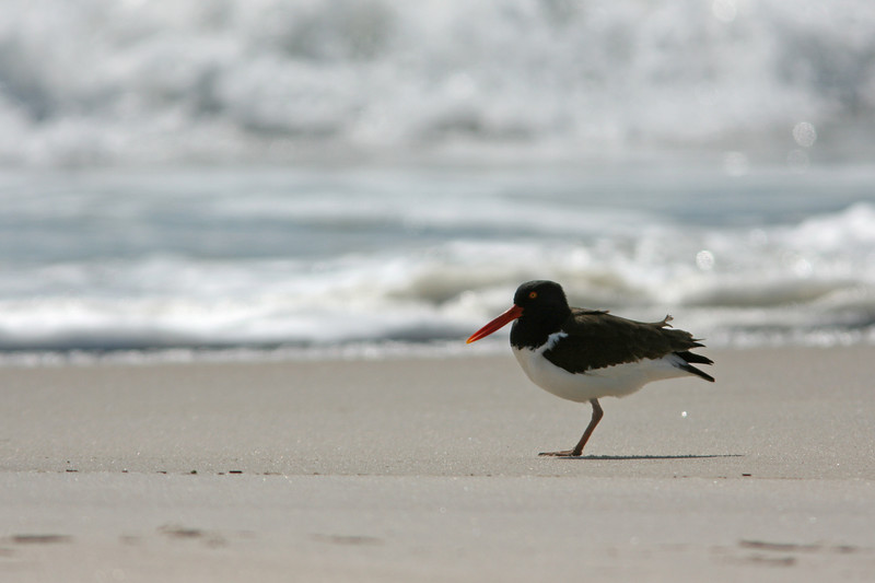 American Oystercatcher, Jones Beach, NY