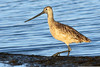 Marbled Godwit, Charleston Slough, Mountain View, CA