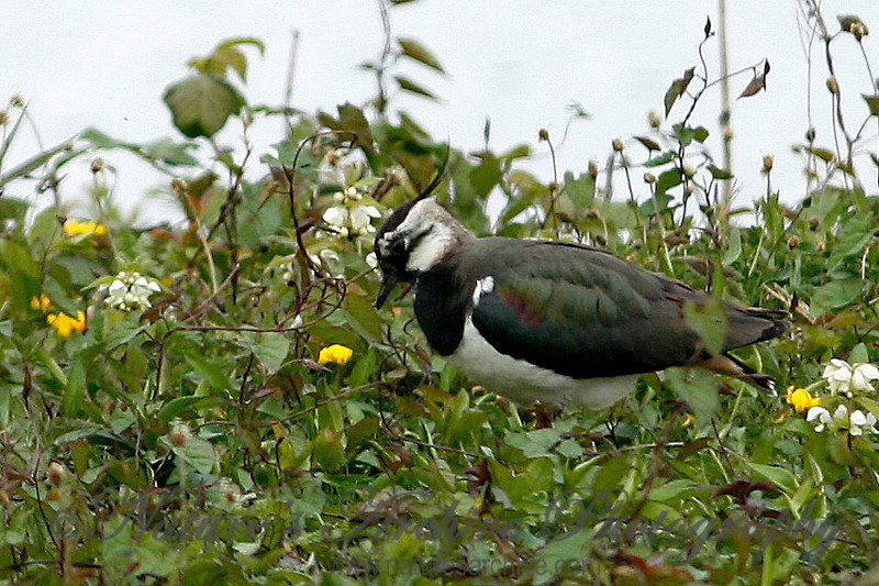 Lapwing, London Wetlands Center, UK