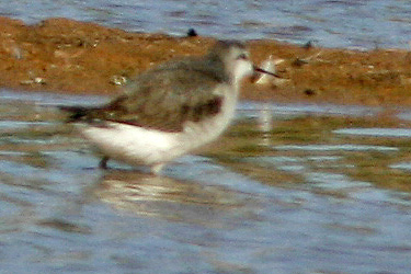 Red-Necked Phalarope, Gilbert, AZ