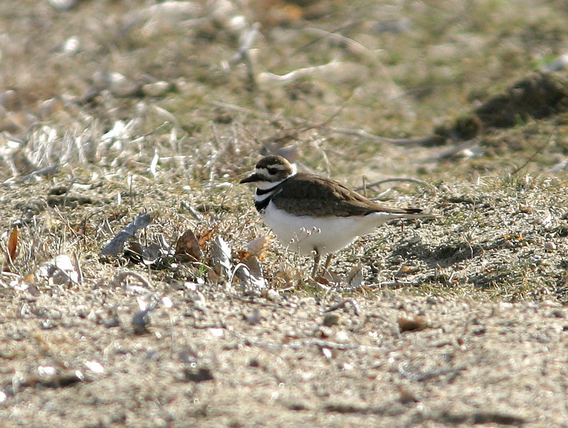 Killdeer<br /> Branched Oak Lake, NE