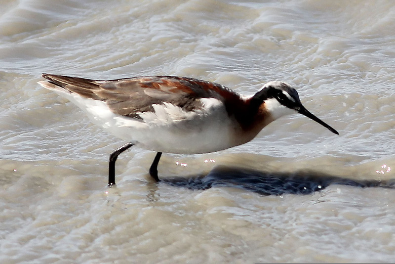 Wilson's Phalarope, Quivira National Wildlife Refuge, KS