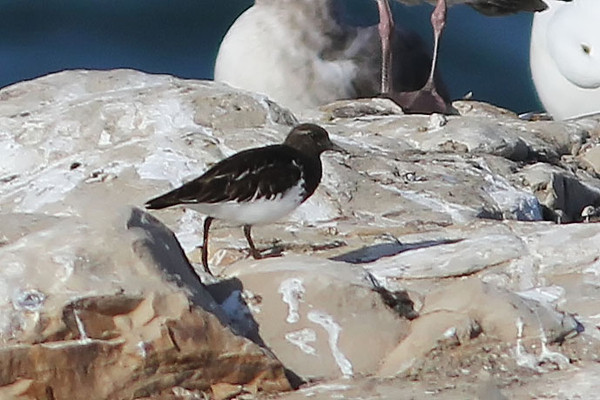 Black Turnstone, Santa Cruz, CA