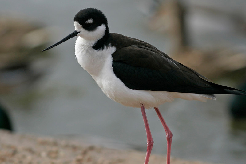 Black-Necked Stilt, Gilbert, AZ