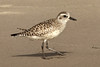Black-bellied Plover, Santa Barbara, CA
