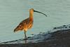 Long-Billed Curlew, Palo Alto Baylands, CA