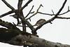 Eurasian Tree Sparrow, Flachsee, Switzerland