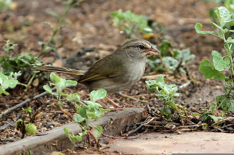 Olive Sparrow, Sabal Palm Sanctuary, TX