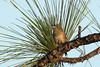 Bachman's Sparrow Three Lakes WMA, Osceola County, FL