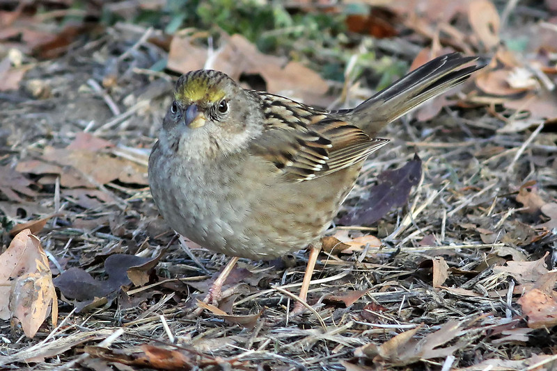 Golden-crowned Sparrow, Shoreline Lake, Mountain View, CA