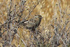 Grasshopper Sparrow, Mission Trails Regional Park, San Diego County, CA