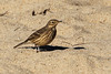 American Pipit, Marina State Beach, Monterey County, CA
