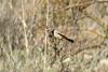 Black-throated Sparrow, Santa Teresa County Park, San Jose, CA