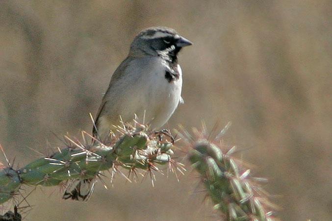 Black-throated Sparrow, Saguaro National Park, AZ