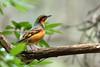 Varied Thrush, Sanborn County Park, Santa Clara County, California