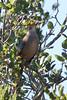 California Thrasher, Santa Teresa County Park, Santa Clara County, CA