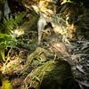 Olive-tailed Thrush, Royal National Park, Sydney, New South Wales, Australia
