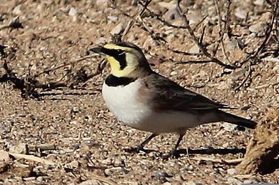 Horned Lark, Maricopa, AZ