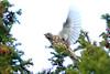 Mistle Thrush, Phoenix Park, Dublin, Ireland