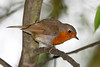 European Robin, London Wetlands Centre, UK