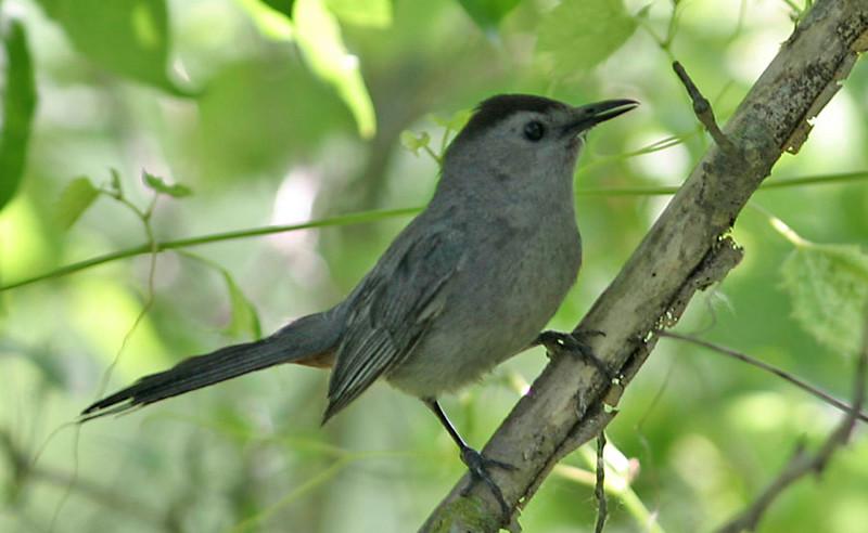 Gray Catbird<br /> Fontenelle Forest, NE
