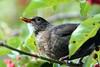 Eurasian Blackbird (female), Herbert Park, Dublin, Ireland