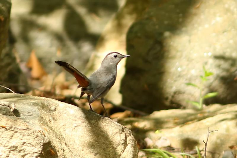 Grey Catbird, Sterling Forest, New York