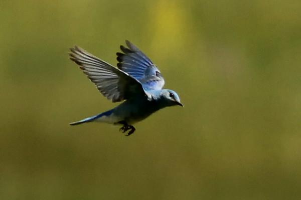Mountain Bluebird, Elk Meadow, Jefferson County, CO
