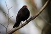 Eurasian Blackbird (Thrush family), Uetliberg, Switzerland