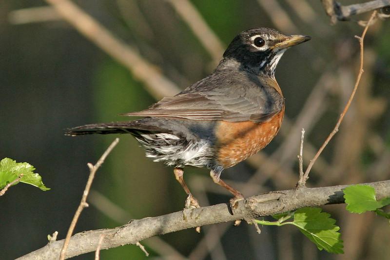 American Robin, Omaha, NE
