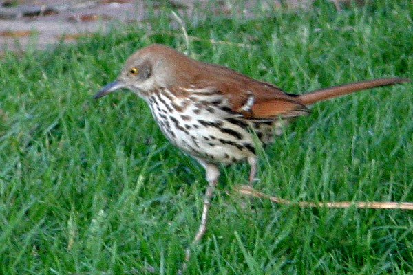 Brown Thrasher, Omaha, NE