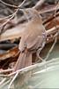 Long-billed Thrasher, Sabal Palm Sanctuary, TX