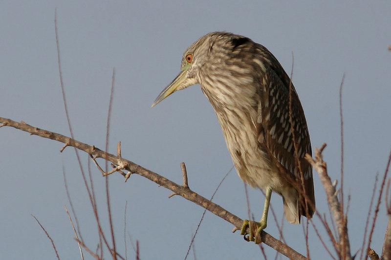 Black-Crowned Night-Heron (juvenile)