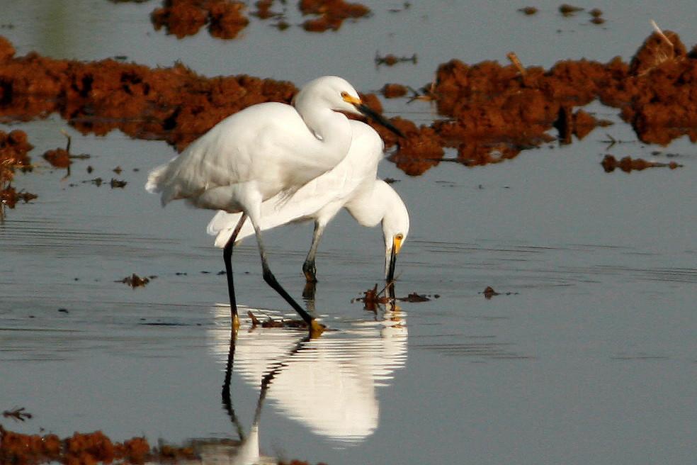 Snowy Egrets, Gilbert, AZ