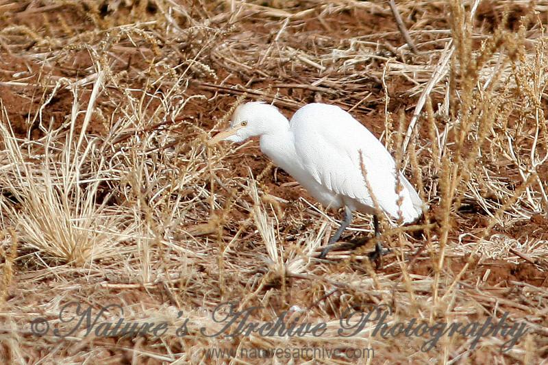 Cattle Egret, Gilbert, AZ