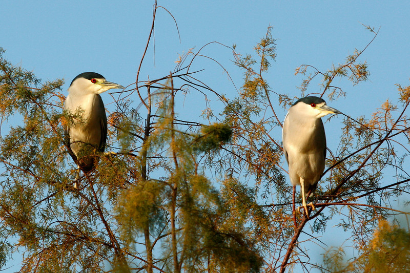 Black-Crowned Night-Herons, Gilbert, AZ
