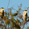Black-Crowned Night-Herons, Gilbert, AZ