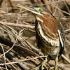 Green Heron, Gilbert, AZ