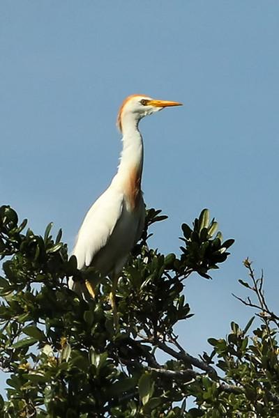 Cattle Egret, Osceola County, FL