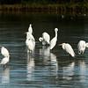 Egrets, Gilbert,AZ